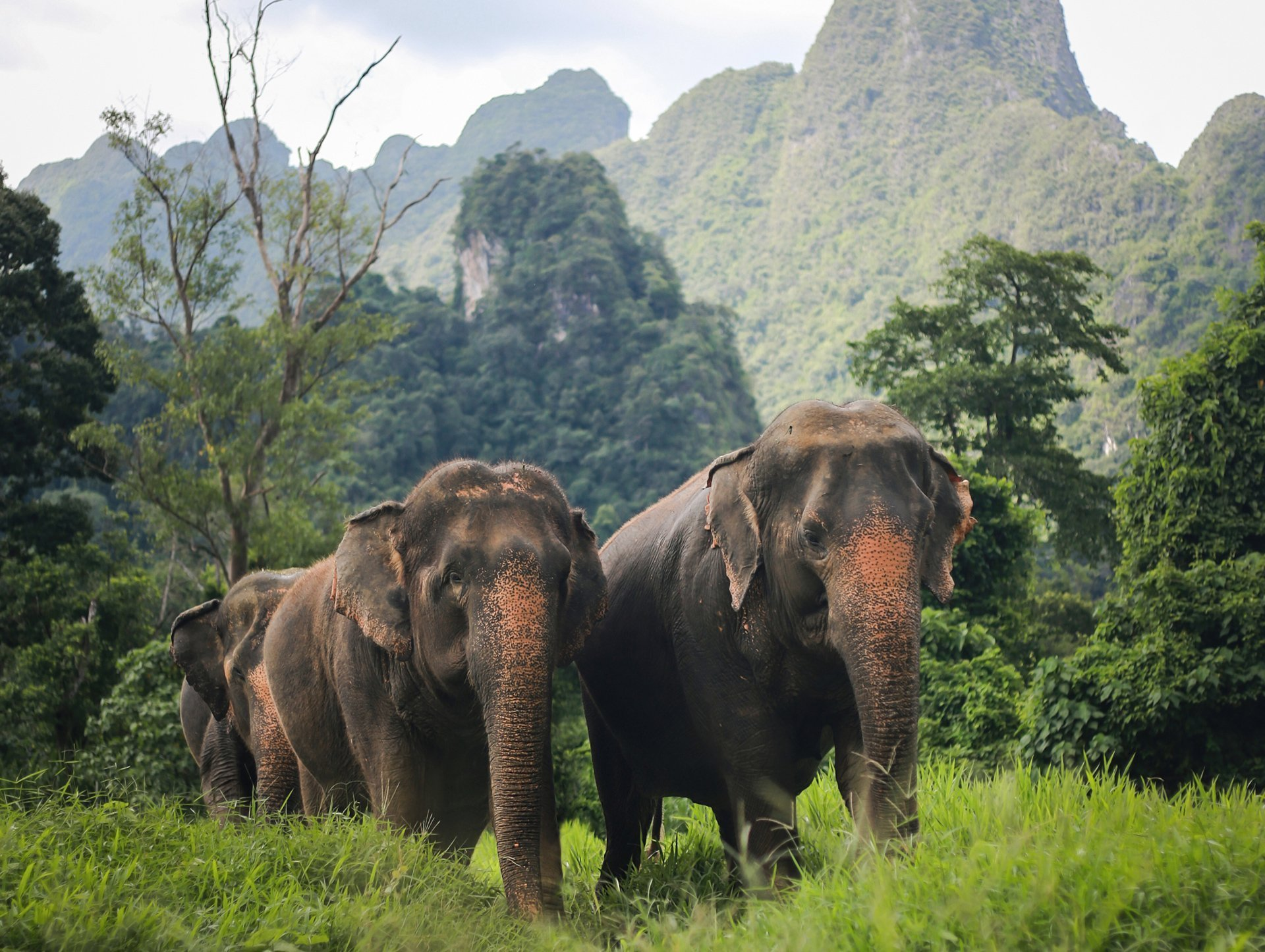 Asian elephants walking through Khao Sok National Park. Can be seen by Elephant Hills guests on a Cheow Lan Lake tour.